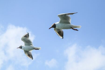 The seagulls flying in the brigh partly cloudy sky above the sea.