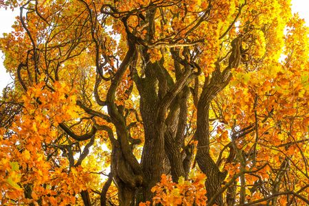 A colorful autumn picture. Branches of an old tree with the orange leaves.