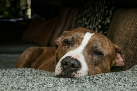 The old american stafforshire terrier is lying on a sofa and is sleepy and tired. Looks like he is sad and lonely.