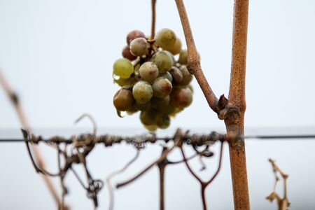 The small bunch of grapes hanging on the plant in a vineyard. The weather is rainy, there are water drops on the fruit. Standard-Bild