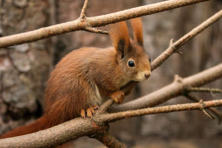 The shy cute squirrel is sitting on the branch and observing the surroundings.