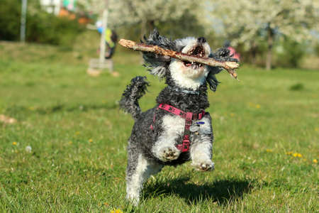 A picture of the happy adult crosbreed of the Poodle and Shi Tzu running on the meadow with a wooden stick in its mouth.