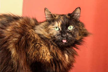 The cat i looking dumb with stick out tongue. But also a bit cute and funny. Banque d'images