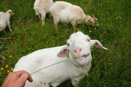 Feeding the goat with a single stem of grass at the fresh green meadow. The animal looks very happy.