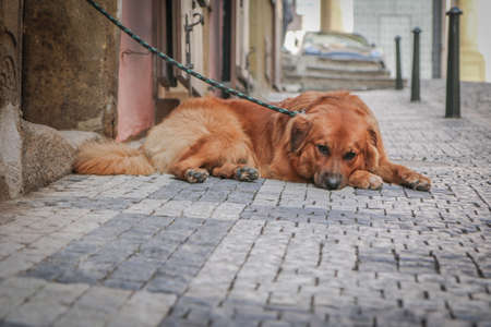 A picture of the lonely tied dog on the sidewalk. He´s lying on he ground and waiting for the owner to come.