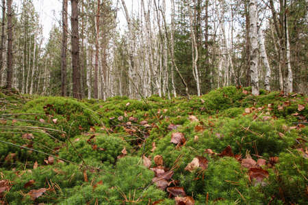 The fresh green moss under the birch trees during the late autumn.