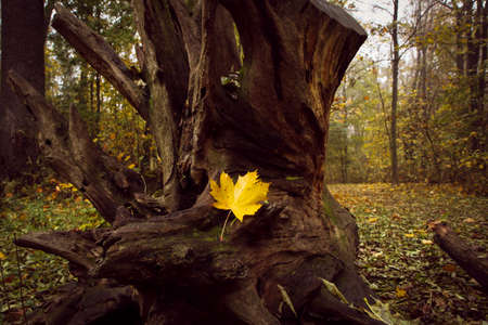 The wood during the misty day in the late autumn with fallen yellow maple trees and old trunk on the ground.
