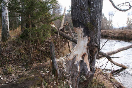 The detail of the tree trunk gnawed away by the beaver. Standing by the river, where they build their dams.