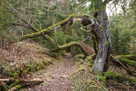 The footpath leading under the bent branches of the old trees covered by moss.