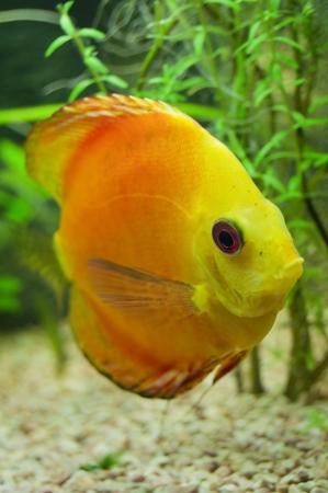 cichlids: orange discus fish symphysodon
