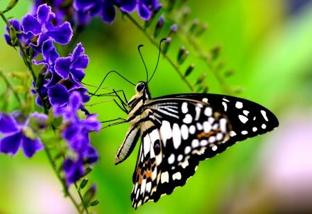 butterfly feeding on a blue flower3 photo