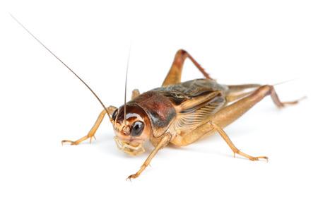 insecto: Cricket Field en blanco