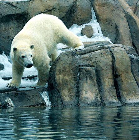 polar bear on rocks 스톡 콘텐츠