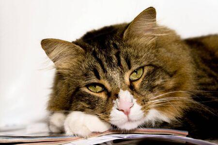 Pet Series. Portrait of norwegian cat relaxing. Stock Photo