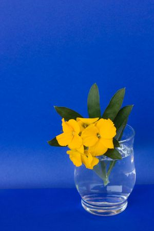 wallflower: Still Life. Glass with aegean wallflower isolated on blue background. Erysimum cheiri (syn. Cheiranthus cheiri) is a species of wallflower known by the common name Aegean wallflower in English. It is also known as girofl�e and revenelle in French, goldlac Stock Photo