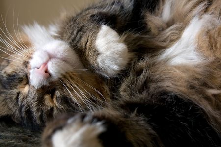 Animals - Pets. Maine Coon cat sleeping in a funny position. photo