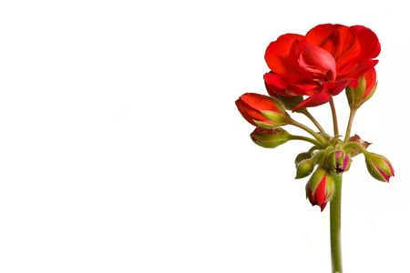 Botanical - Flower & Plants - red geranium inflorescence isolated on white background. Stock Photo - 6809732