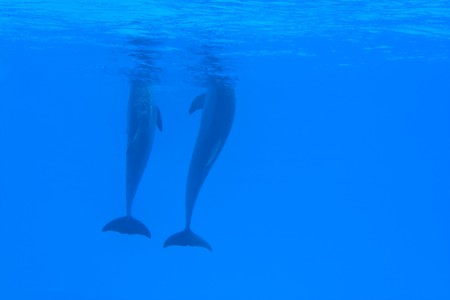 Animals - Couple of dolphins in the blue water  photo