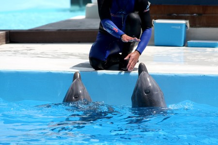 Zoomarine Park, Torvaianica, Rome, Italy - Couple of dolphins with their trainer during the performance on 27.05.2010. EDITORIAL USE