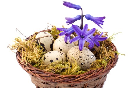 Spring backgrounds - basket with quail eggs and blue hyacinth isolated on white background. photo