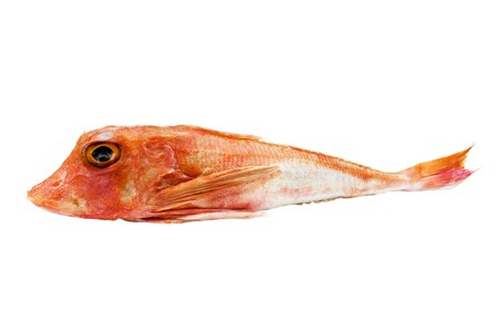 Food - Fish - Red gurnard fish isolated on white background.