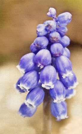 Grape hyacinth Muscari racemosum fine art (Gouache paint on canvas). Stock Photo - 9171125