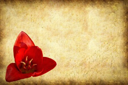Stationary - Spring card with red tulip on old paper background. Stok Fotoğraf