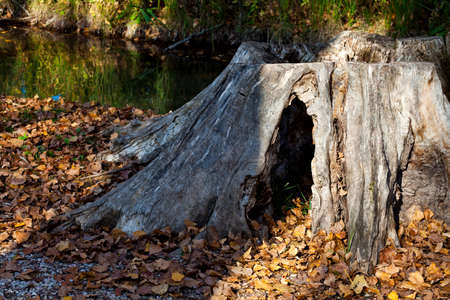 Nature - Forests - Old tree trunk with fallen leaves  photo