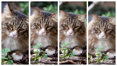 Collage of four pictures with different expressions of a Norwegian cat. photo