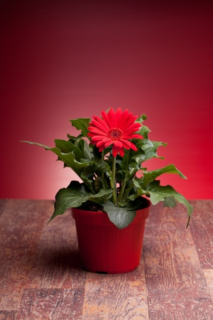 Pot With red gerbera on wood table, with red background. Stock Photo - 12887964