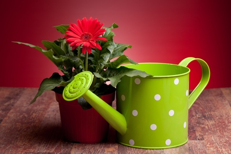 Still life with red Gerbera and green watering can on wood table with red background. photo