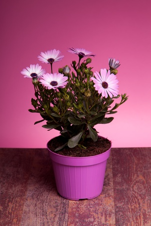 Pot with pink african daisy on wood table with pink background. Stock Photo - 12887955