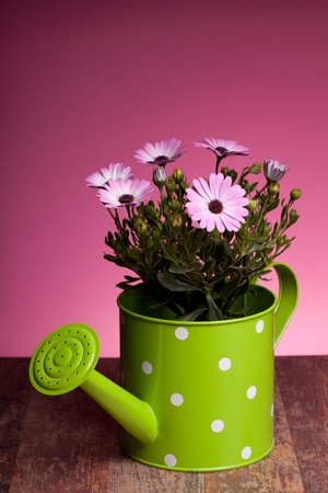 Pink African daisy (Dimorphotheca Pluvialis) inside green watering pot, on wood table and pink background. photo
