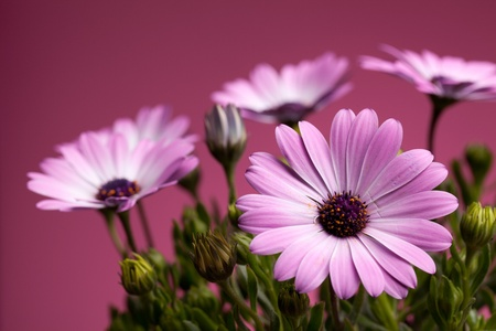 Closeup of pink african daisies on dark pink background. photo