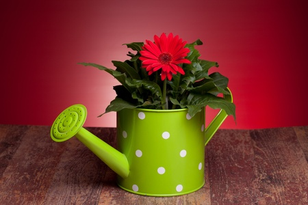 Red Gerbera and green watering can on wood table, with red background. Stock Photo - 12887969