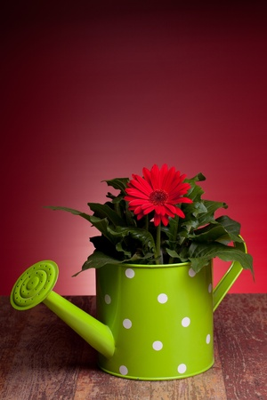 Red Gerbera and green watering can on wood table, with red background. Stock Photo - 12887897