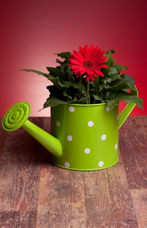 Red Gerbera inside  green watering can on wood table, with red background. Stock Photo - 12887578