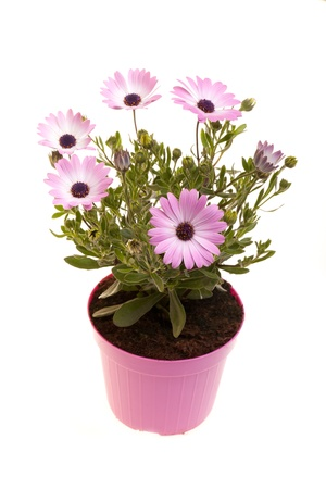 Pot With African daisies isolated on white background. Archivio Fotografico
