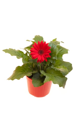 Pot with red Gerbera isolated on white background. Stock Photo - 12887936