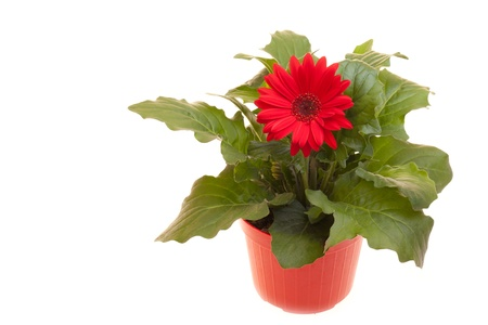 Pot with red Gerbera isolated on white background. Stock Photo - 12887950