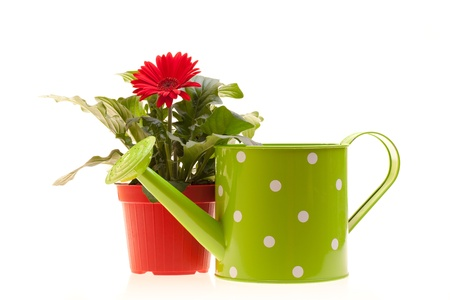 Pot with red Gerbera and watering can isolated on white background. photo