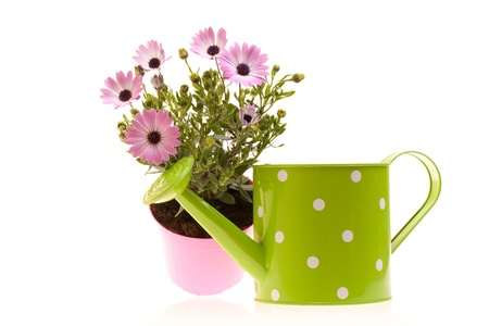 Pot with African daisies and watering can isolated on white background. Stock Photo - 12887937
