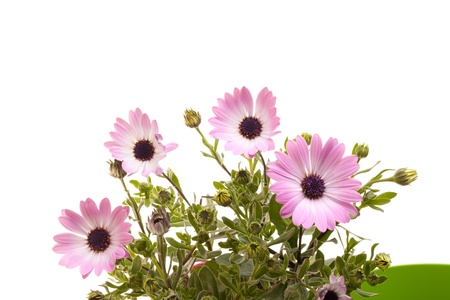 Pink African daisies on white background. Stock Photo - 12887951