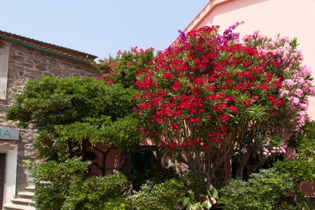 capraia: Beautiful red and pink oleander bushes in bloom at Capraia Island, Tuscan Archipelago, Italy  Stock Photo