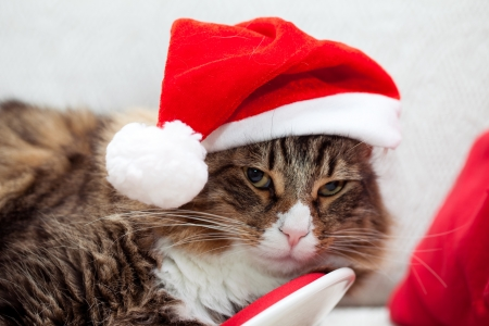 Santa Cat - Cute cat with santa hat  photo