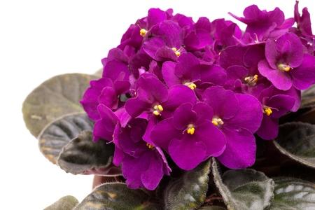 Closeup of purple African violet  Saintpaulia  in blossom