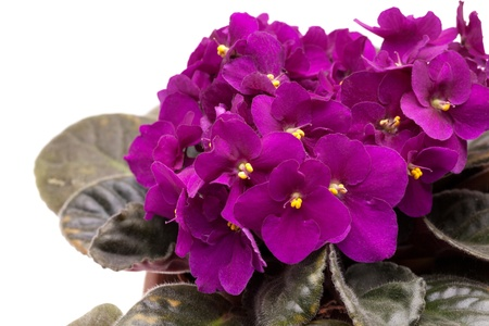 Closeup of purple African violet  Saintpaulia  in blossom