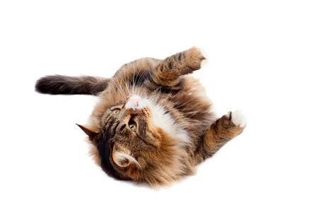 Studio shot of cute Maine Coon cat laying on white background. photo