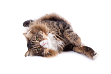 Maine Coon cat laying on white background.