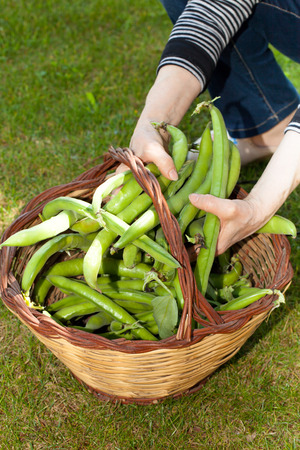 Woman hands holding broad beans inside a basket on green lawn.